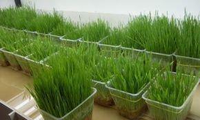 Выращивание лука в вашем доме на подоконнике