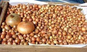 Как посадить лук севок на вашем подоконнике