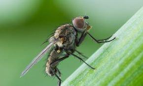 Как бороться с надоедливой луковой мухой