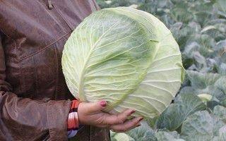 Лучшие сорта поздней капусты