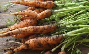 Когда и как убирать морковь с грядки