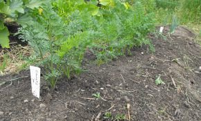 Посев моркови без дальнейшего прореживания