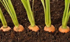Какая почва подходит для моркови