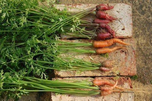 Некрасивая морковь