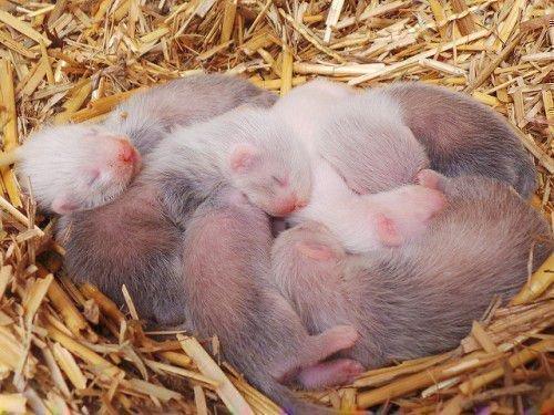 Новорожденные хорьки