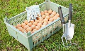 Способы обработки картофеля перед посадкой
