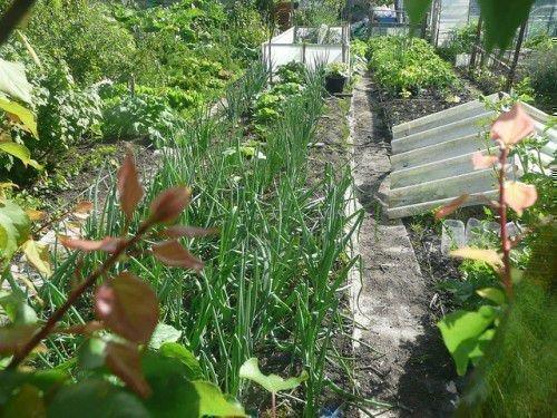 Огород с луком