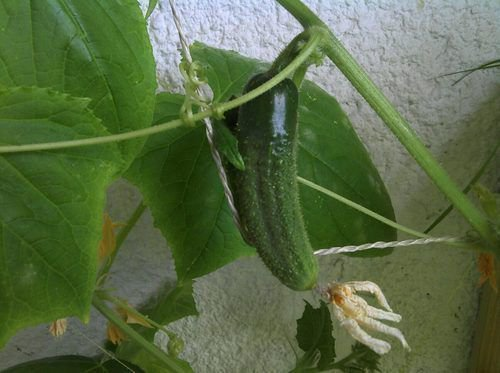 Огурцы выращивание на балконе