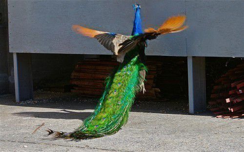 Павлин летает