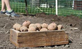 Под лопату: как правильно посадить картофель