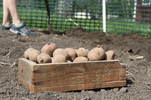 Картошка под лопату