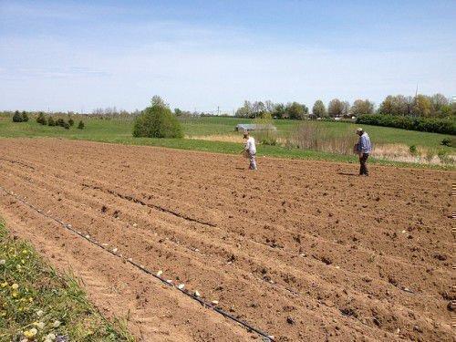 Подготовка земли под картофель