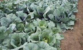 Самые урожайные и вкусные сорта ранней капусты