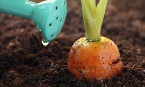 Эффективный полив участка моркови