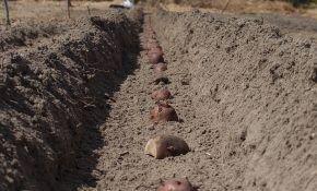 Расчет сроков посадки картофеля