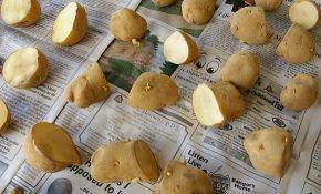 Основные правила и преимущества посадки картофеля глазками