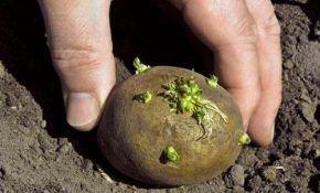 На каком расстоянии и как правильно садить картофель