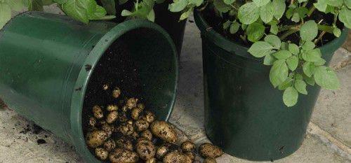 Посадка картошки в бочки
