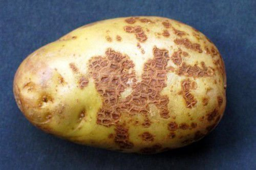 Праша картофеля