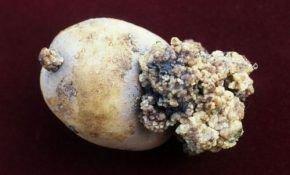 Рак – главный вредитель картофеля. Способы борьбы