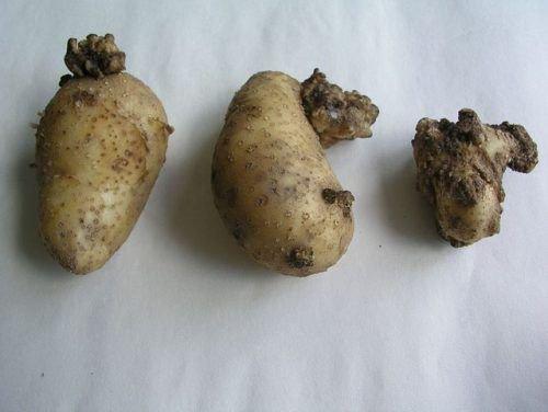 Рак картофеля признаки