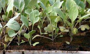 Цветная капуста: выращивание рассады из семян