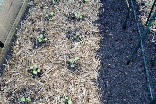 Рассада цветной капусты