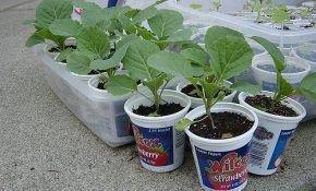 Особенности выращивания рассады капусты на Урале