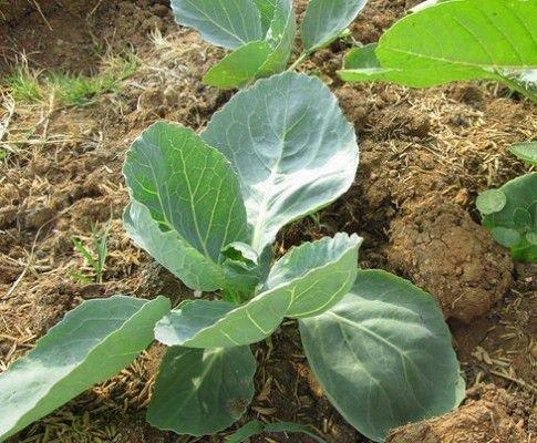 Рассада капусты в огороде