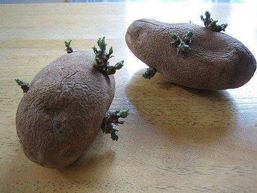Ростки картошки