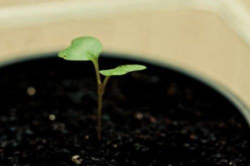 Росток капусты