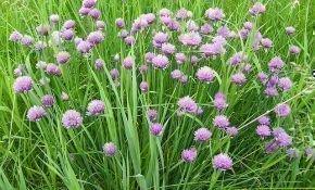 Шнитт-лук: выращивание и уход