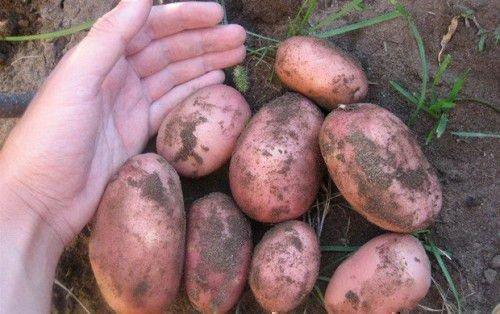 Сорт картофеля Брянский
