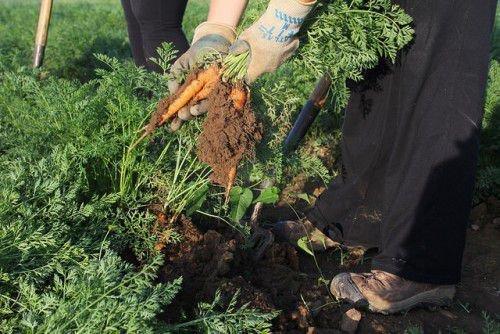 Участок под морковь