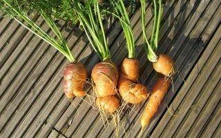 Высокий урожай: как защитить морковь от болезней и вредителей