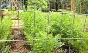 Посадка моркови в открытый грунт и уход за ней