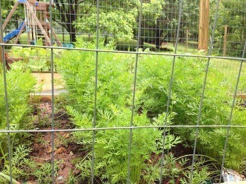Морковь в огороде