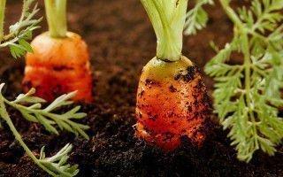 Технология выращивания и выбор сорта моркови для теплиц