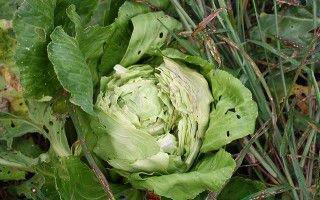 Как бороться с различными вредителями капусты