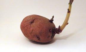 Яровизация (проращивание) картофеля – подготовка клубней к посадке