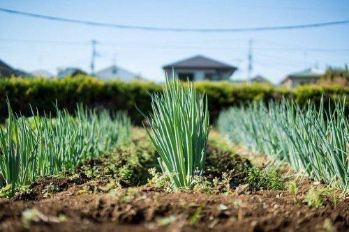 Зеленый лук на поле