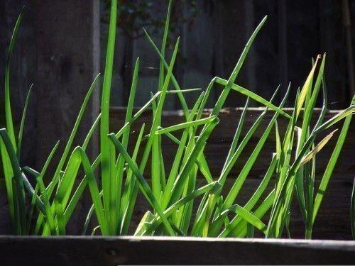 Зеленый лук растет