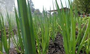 Как вырастить лук на зелень (перо)