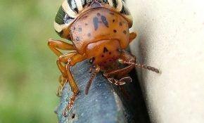 Колорадский жук на картофеле – методы борьбы с ним
