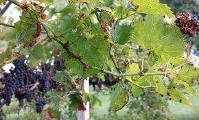 Грибковые заболевания винограда: антракноз