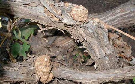 Бактериальный рак винограда