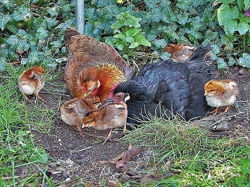 Цыплята гуляют с курицей