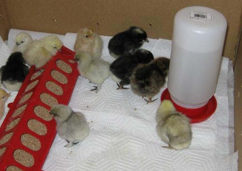 Цыплята и поилка