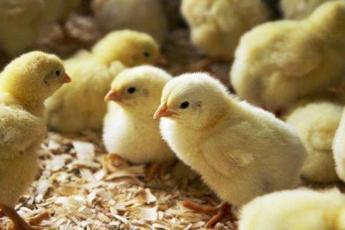 Цыплята в коробке
