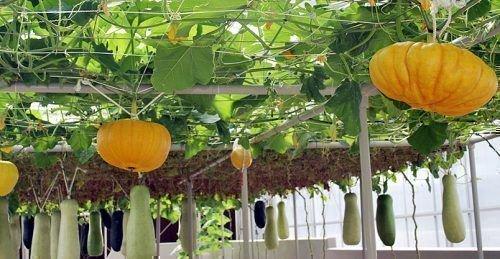 Декоративные тыквы выращивание